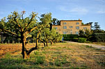 Olive tree and Bastide